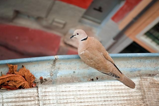 Hnedý holub sedí na zábradlí na balkóne.jpg